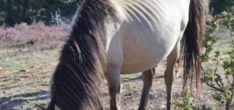 Deel Flevolandse konikpaarden in Spanje heeft parasiet