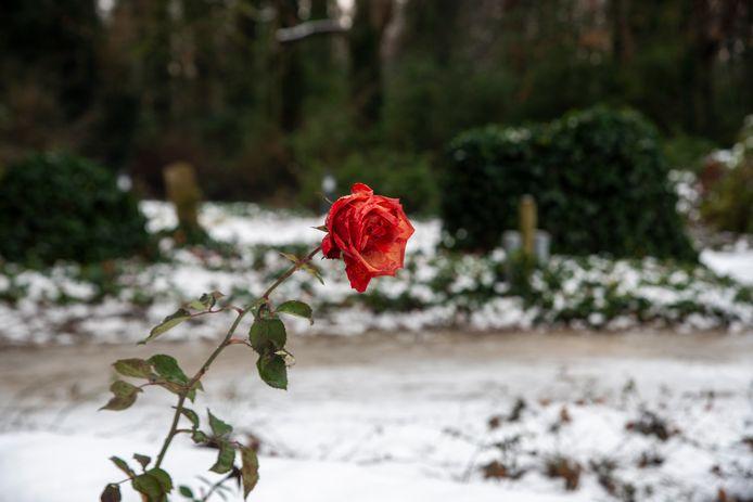 Ook in de winter is Wetteren nog steeds een rozengemeente.
