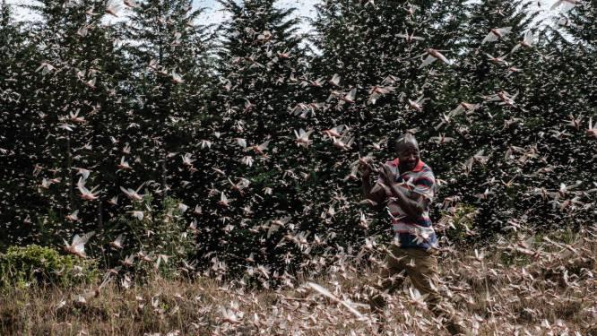Oost-Afrika vecht tegen nieuwe golf verwoestende sprinkhanenplaag