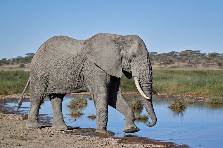 De Afrikaanse olifant wordt in zijn voortbestaan bedreigd.  Beeld Getty Images/Robert Harding Worl