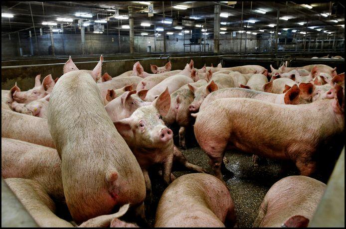 Varkens na aankomst bij varkensslachterij VION in Boxtel.