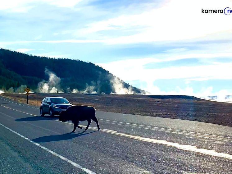 Ongeduldige bestuurder rijdt rakelings langs bizon