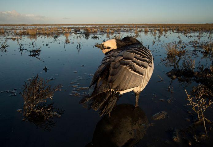 Vogelgriep houdt in Friesland op grote schaal huis onder wilde vogels, met name bij brandganzen.