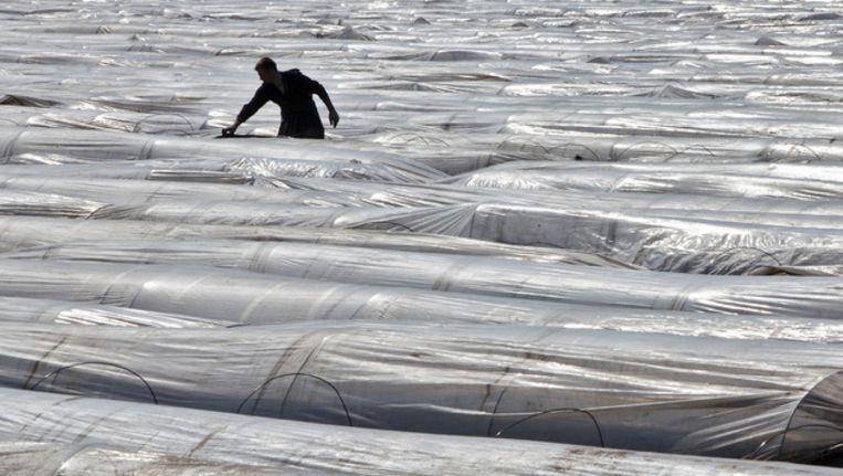Polen aan het werk op aspergevelden. ©ANP Beeld