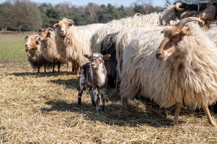 Er worden momenteel veel lammetjes geboren. Die kun je adopteren voor 25 euro.  Schaapsherder Aris van de Steeg bij de lammetjes.