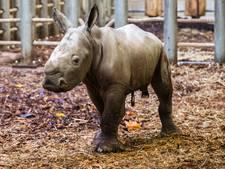 'Neushoornfabriek' Burgers' Zoo flikt het weer: dertiende neushoornjong geboren in dertien jaar tijd