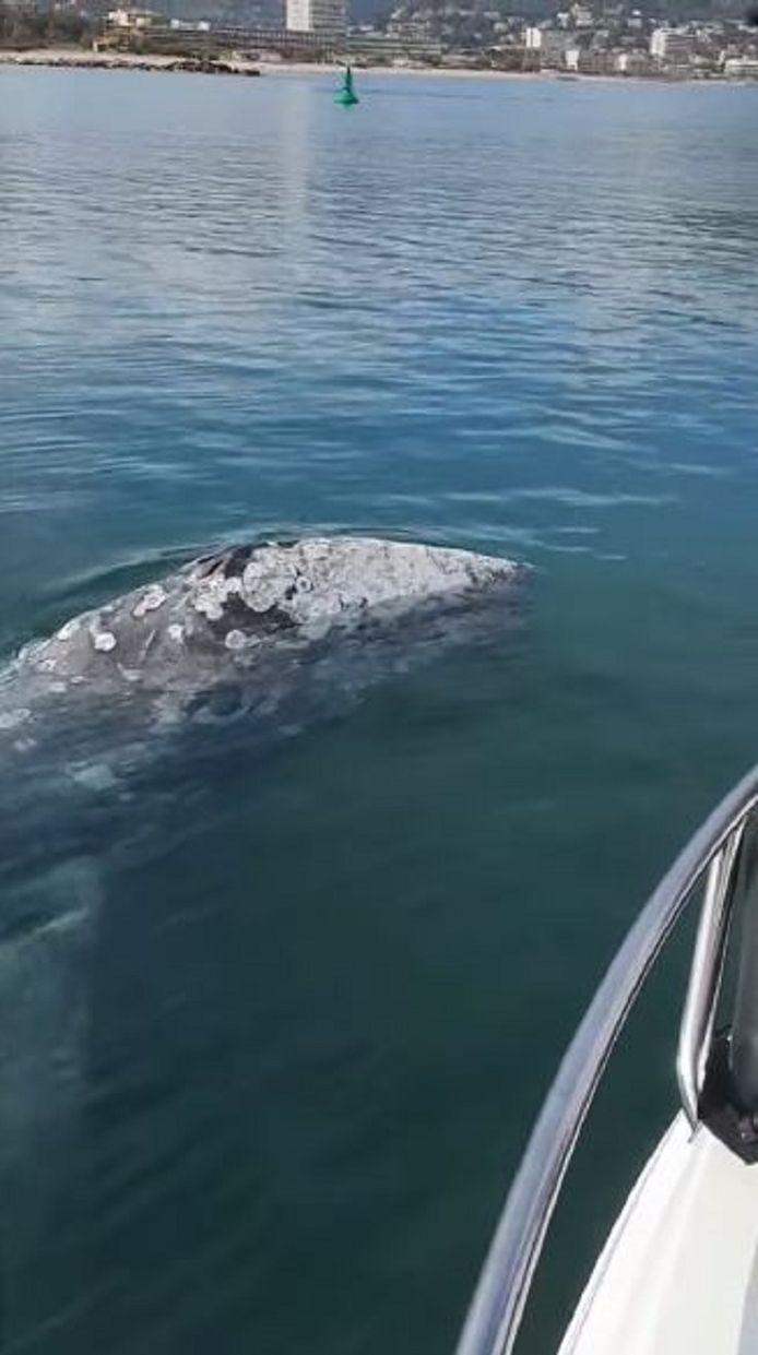 De walvis.