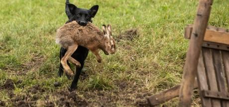 Hond ook in buitengebied van Boxmeer aan de riem