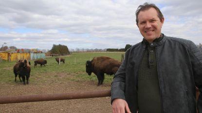 Bert Geuvens van Feestzalen Vogelzang haalt Amerikaanse bizons naar Willebringen