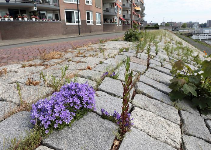Dalmatiëklokjes fleuren de stenige helling in de Bleijenhoek op.
