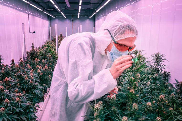 Hoe gedijt de cannabisplant het beste, is de opdracht van CannNext. Rechts directeur Eric Uleman. Beeld Raymond Rutting / de Volkskrant