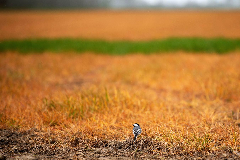 Veel weilanden zien er in het voorjaar oranje-achtig uit. Met glyfosaat wordt alle onkruid verdelgd, waarna de boer nieuw gewas kan planten.