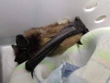 Dat is schrikken: vleermuis houdt winterslaap in winterjas van Eindhovense