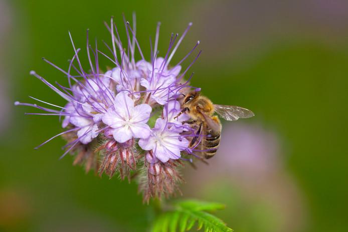 Een bij op een bloem van de Phacelia.