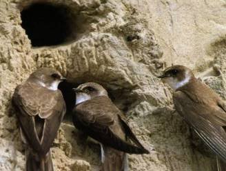 Oude afvalstortplaats van Pellenberg wordt thuis voor bedreigde oeverzwaluwen