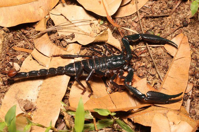 Een schorpioen uit het Heterometrus-geslacht in de jungle van Maleisisch Borneo.