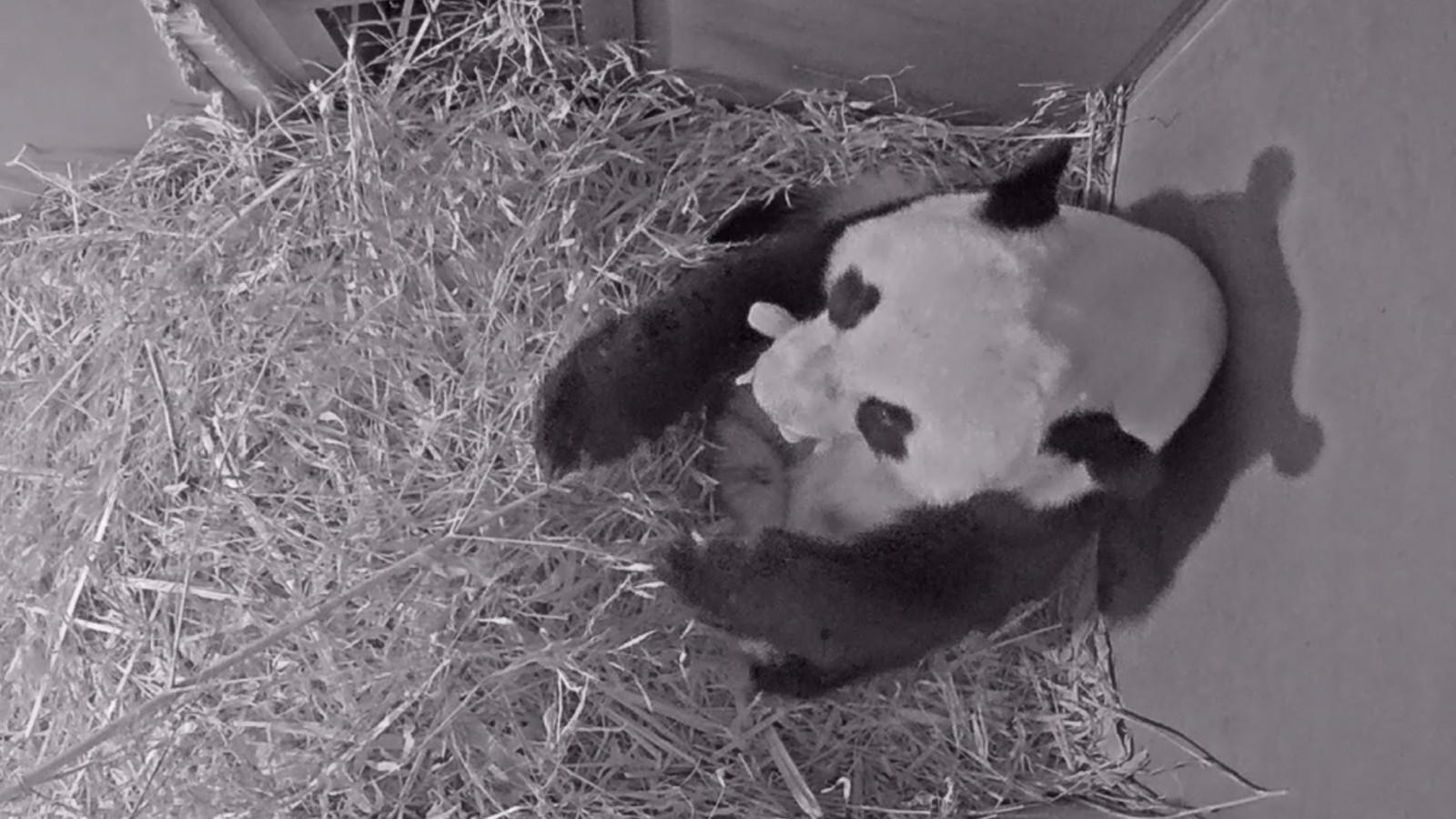 Webcambeelden Wu Wen in kraamhol met haar jong.
