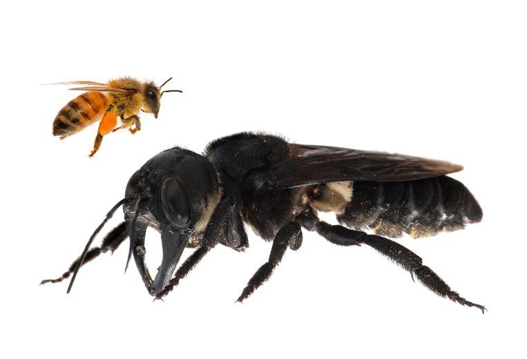 Een Wallace Giant Bee met een honingbij ter vergelijking.