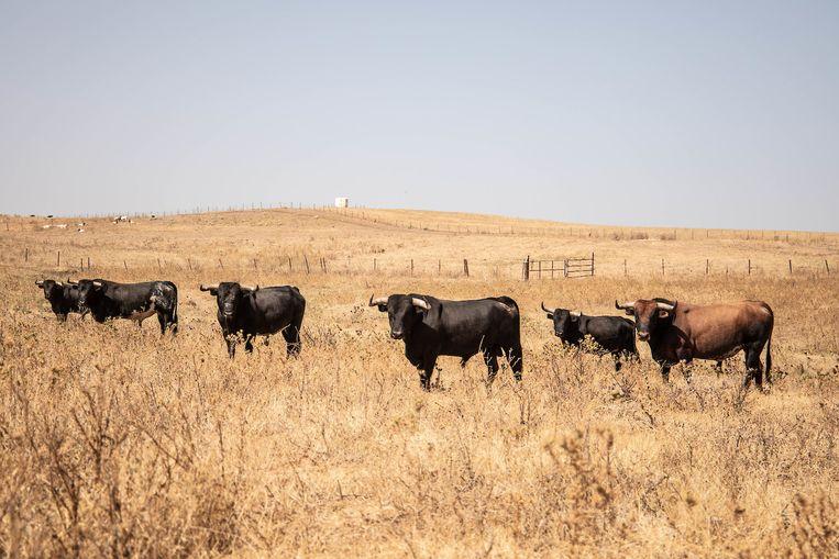 Vechtstieren op een boerderij. 'Als een stier erg dapper is, krijgt hij gratie, en wordt hij niet gedood. Dat gebeurt tegenwoordig steeds vaker.' Beeld César Dezfuli