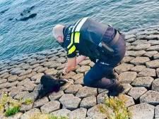 Dode geit met doorgesneden keel en vastgebonden poten gevonden langs water in Hoek van Holland