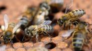 Derde van Franse bijen stierf vorige winter