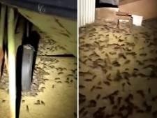 Heftige muizenplaag teistert boeren in Australische deelstaat