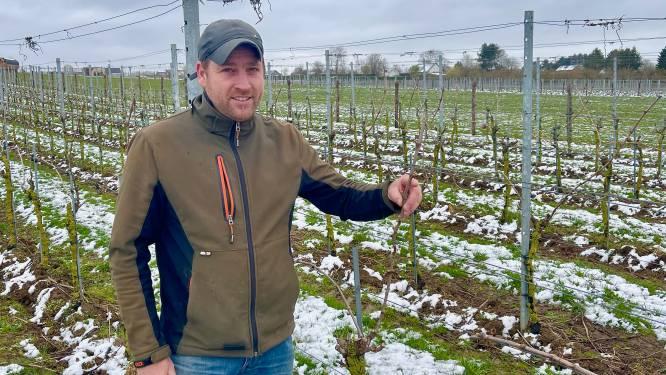 """Wijnboeren blijven optimistisch over toekomstige oogst na koude van de voorbije dagen: """"Voorlopig nog geen paniek"""""""