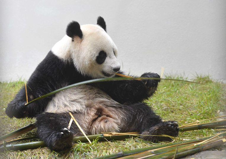 Reuzenpanda Xing Ya een dag voor zijn vertrek naar Nederland. Beeld ANP