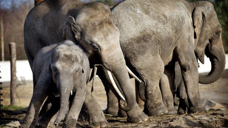 Vooral grote dieren als olifanten worden met uitsterven bedreigd, zeggen de onderzoekers. Beeld anp