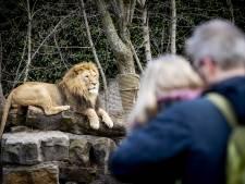 Nieuw leeuwenverblijf voor Artis dankzij twee weldoeners, vertrek van de baan