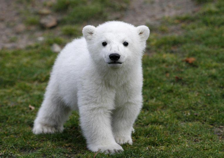 Knut. Beeld AP