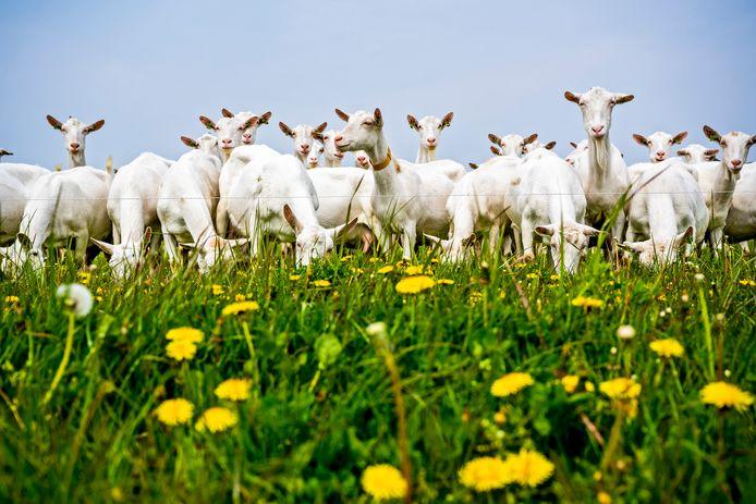 Het voorjaar is in volle gang op geitenboerderij De Mekkerstee, waar weer steeds meer mogelijk wordt en de dieren zoveel mogelijk naar buiten gaan.