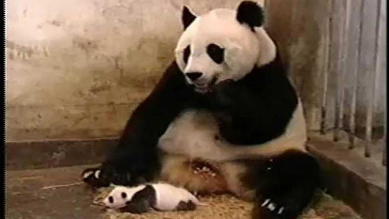 Een knikje naar de meester: de niezende panda. Beeld null