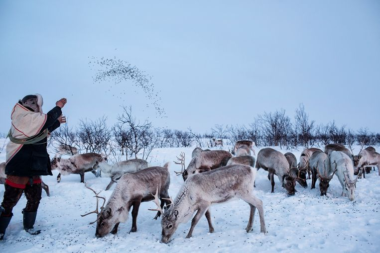 Jovsset Ante Sara met zijn kudde. Beeld Hollandse Hoogte / The New York Times Syndication