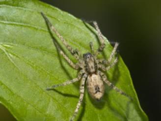 Struikspin is Europese spin van het jaar