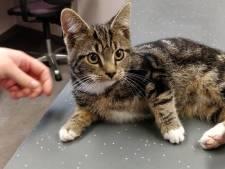Kitten terug naar baasje na lange tocht kriskras door Nederland met einde in Schijndel