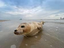Agressieve zeehond door politie van de weg gehaald