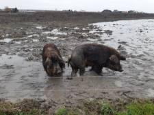 14 verwaarloosde wolvarkens in beslag genomen: 'Ze dronken het modderwater waarin zij rondliepen'