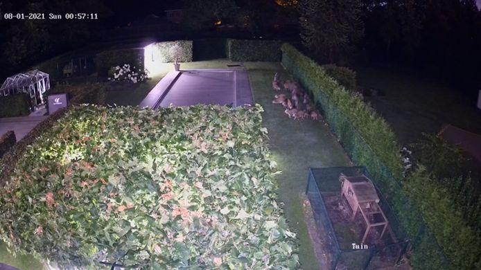 Une caméra de sécurité a filmé la venue d'un groupe de sangliers dans un jardin