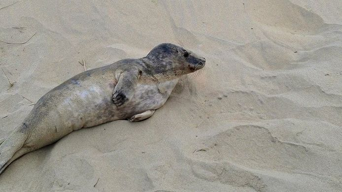 De zeehond is bevrijd van het visnet waarin hij klem zat.