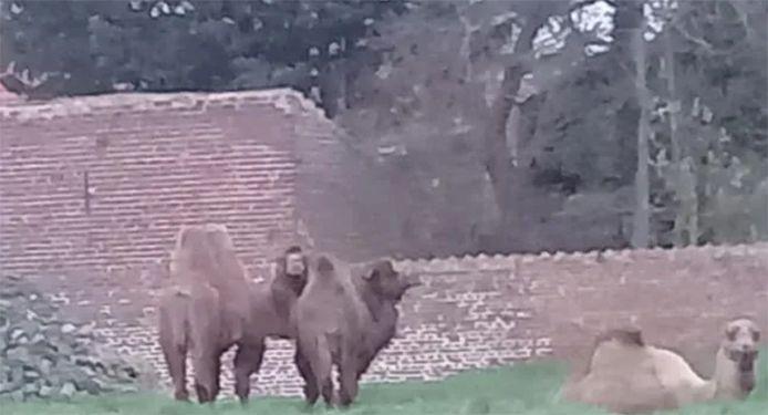 Deux chameaux et un dromadaire à Tournai