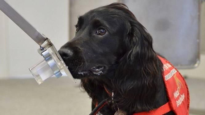 Honden ruiken prostaatkanker in urine