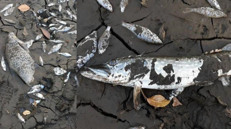 Vissen In Vijver : Opnieuw honderden vissen dood in brasschaat na fout van aannemer