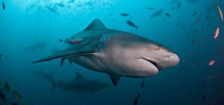 Un requin arrache la jambe et une partie de l'abdomen d'un enfant à Nouméa
