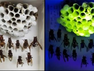 Wetenschappers ontdekken glow-in-the-dark wespennesten