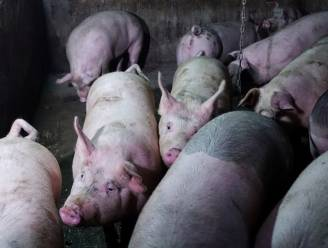 China kweekt varkens zo groot als ijsberen