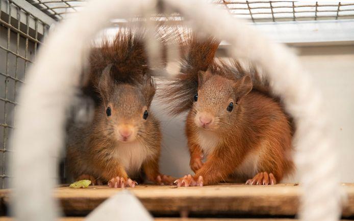 Twee eekhoorntjes in de Eekhoornopvang Neder Veluwe.