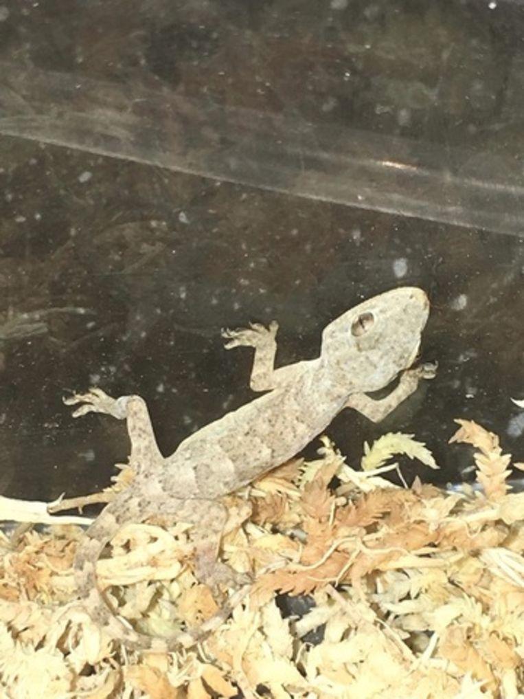 Ook andere kleine reptielen worden vaak teruggevonden op planten uit tropische oorden. In een maand tijd kwamen bij SOS Reptiel drie kleine gekko's binnen.