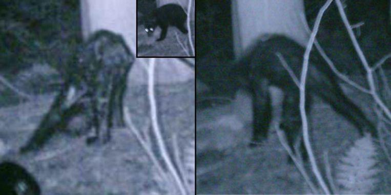 Foto's die Rick Jacobs maakte van een - volgens sommigen - Bigfoot. Anderen zien er eerder een beer met een extreme vorm van schurft in. Beeld UNKNOWN