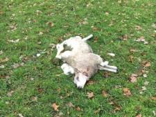 Schaap in Rossum mogelijk door wolf doodgebeten